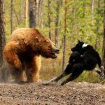 Охота на медведя: все способы - на овсах, на берлоге, с лайками