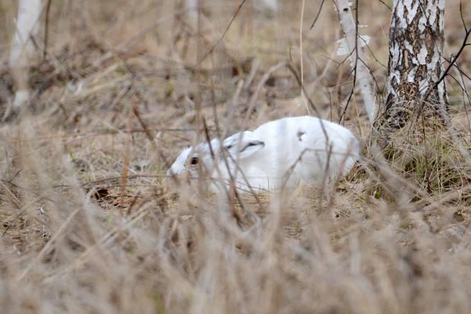 Охота на зайца в узерку