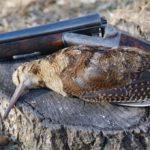 Охота на вальдшнепа: весной на тяге, осенью на высыпках