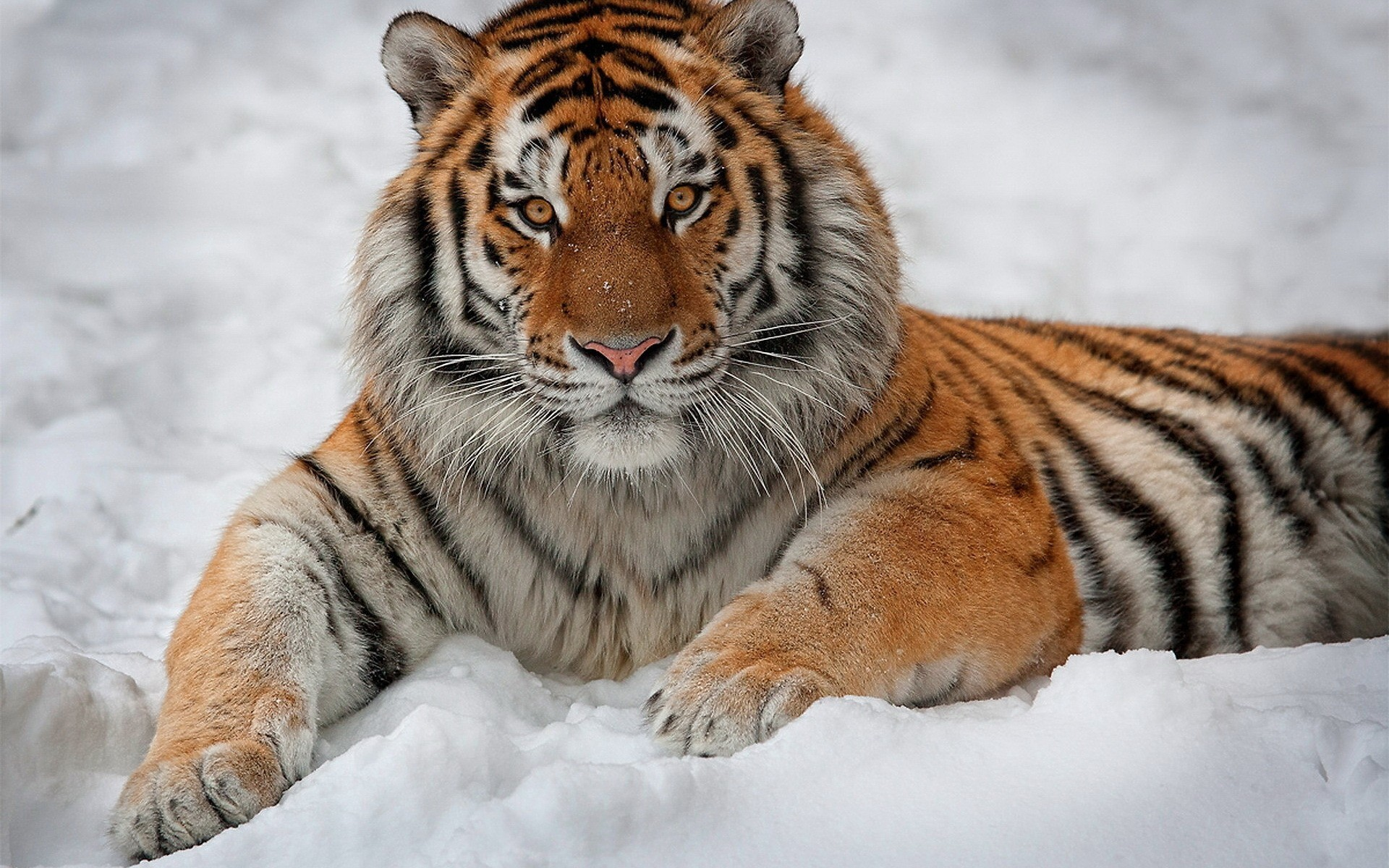 Лучшая картинка тигра
