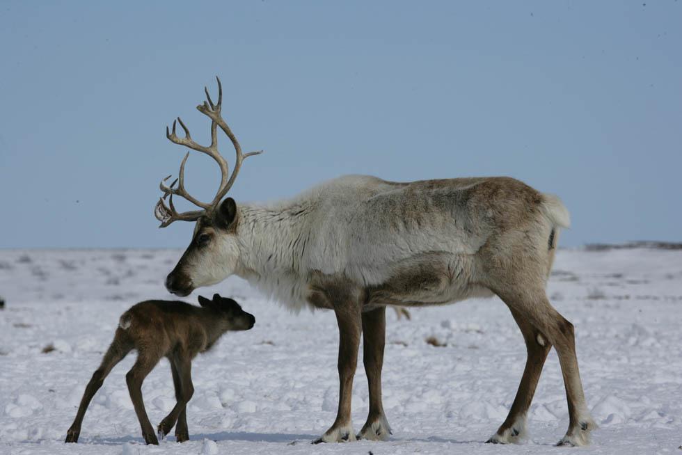 картинки животных северный олень поздравляю тебя желаю