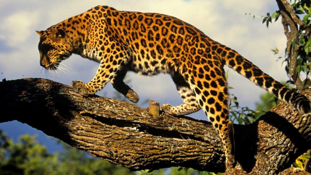 """На """"Земле леопарда"""" в Приморье впервые установили точную численность копытных"""