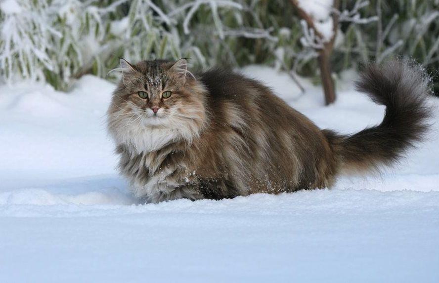 норвежский лесной кот