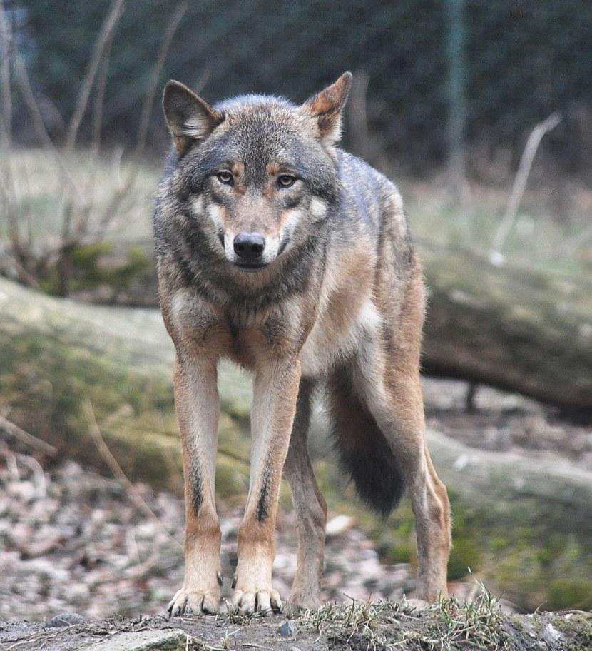 Волк: все факты, где живет, чем питается, волк против медведя