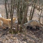 Охота на барсука